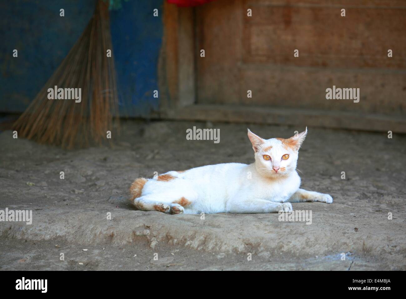 A white cat with yellow eyes in Java, Indonesia - Stock Image