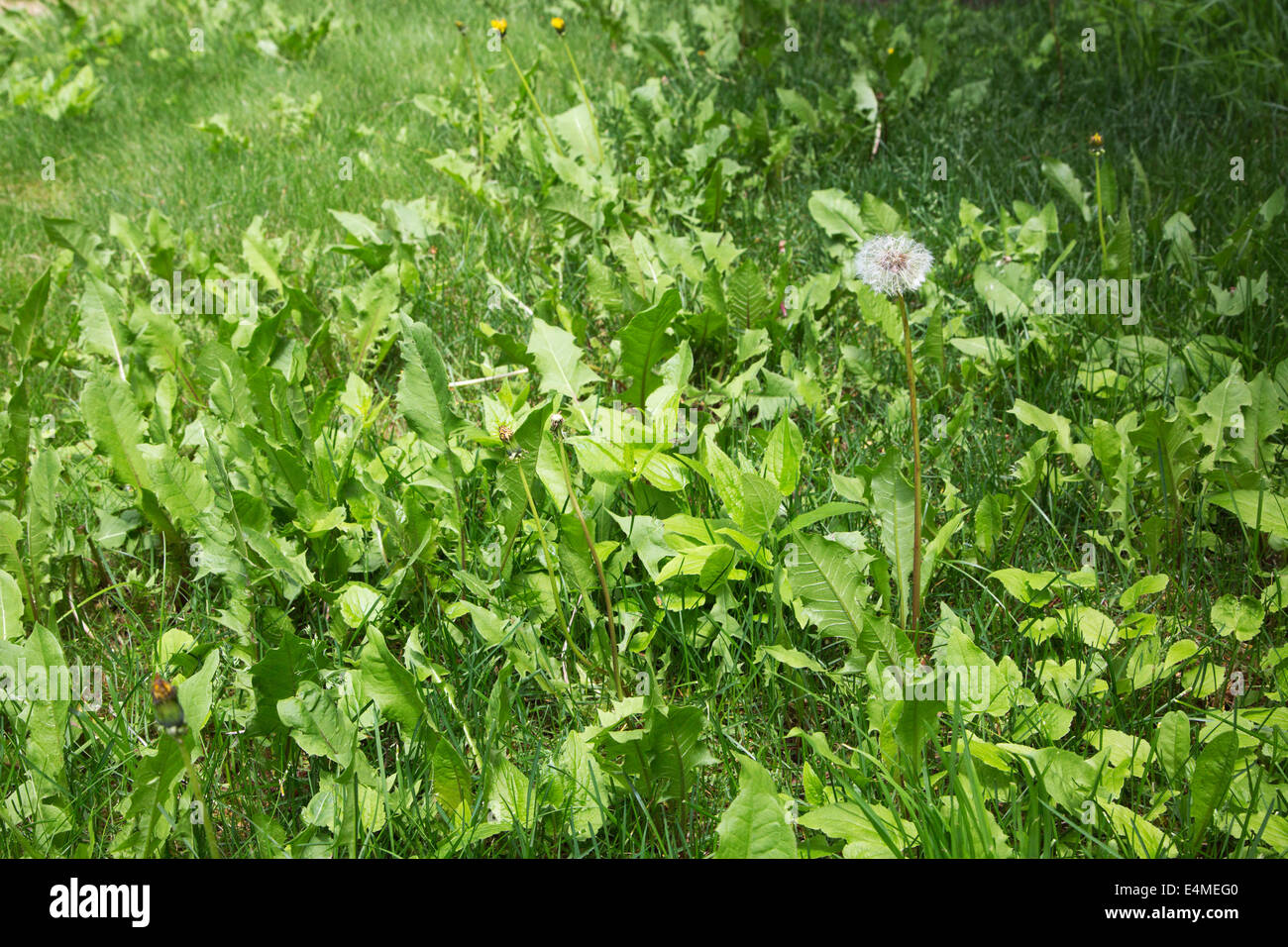 Unkempt lawn with weeds and dandelion gone to seed - Stock Image