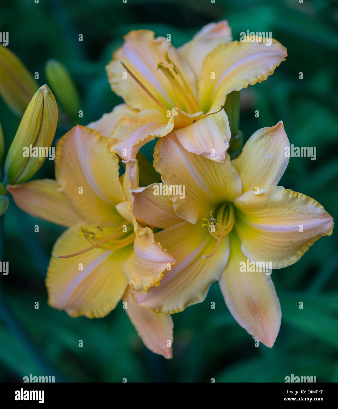 Pale pink and yellow lily flowers close up hemerocallis stock photo pale pink and yellow lily flowers close up hemerocallis izmirmasajfo