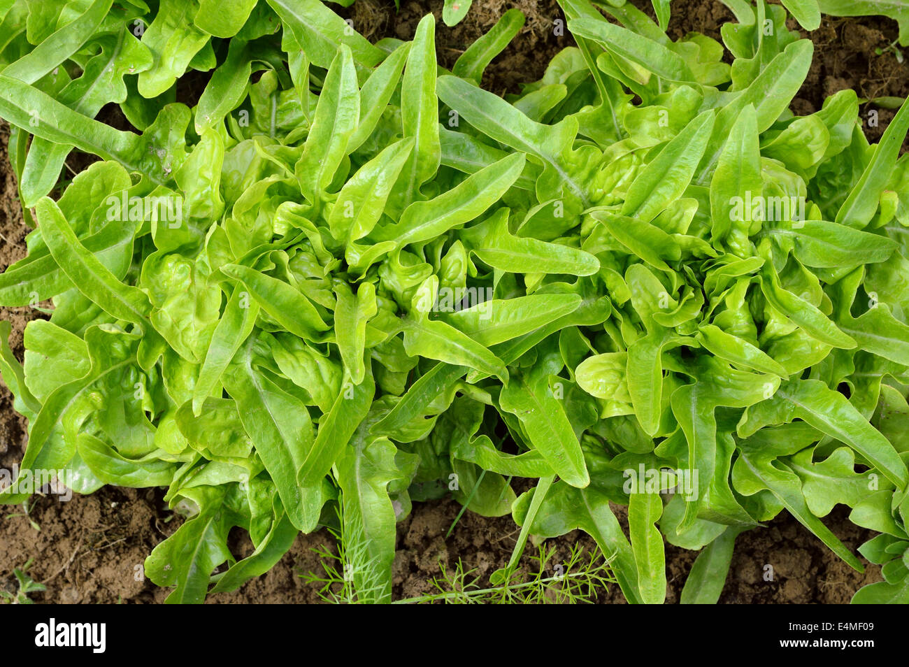 Two green, fresh oakleaf lettuce DUBACEK(Lactuca sativa). Top view rosette of lobate leaves. Organic gardening. - Stock Image