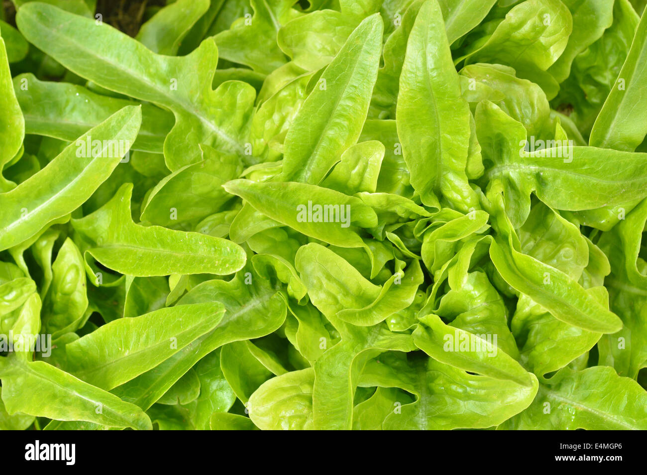 Close-up of green, fresh oakleaf lettuce DUBACEK (Lactuca sativa). Top view rosette of lobate leaves. Garden background. - Stock Image