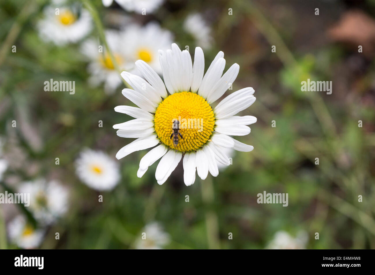 Insect on a wild daisy feeding on nectar. - Stock Image