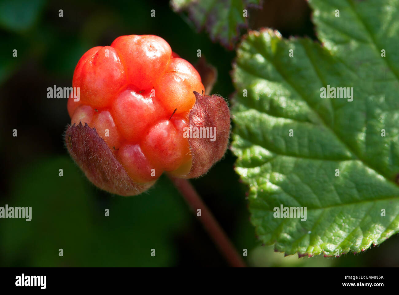 What is useful cloudberry (berry) 84