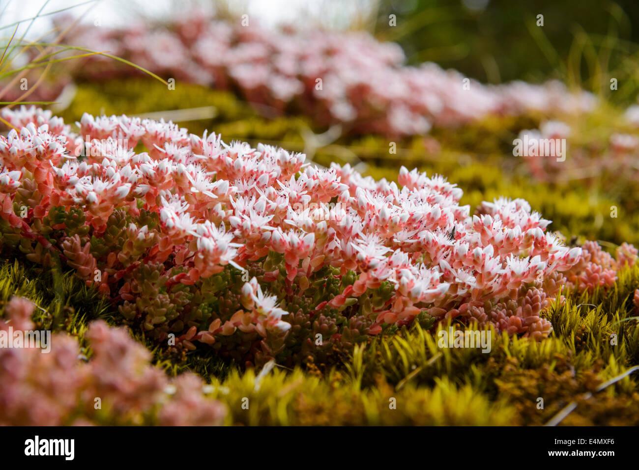 English Stonecrop, Sedum anglicum, Wildflowers, Galloway Forest, Dumfries & Galloway, Scotland - Stock Image