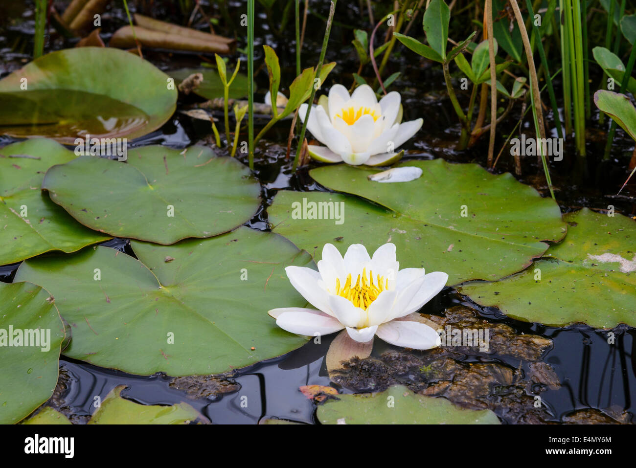 White Water-lily, Nymphaea alba, Wildflower - Stock Image