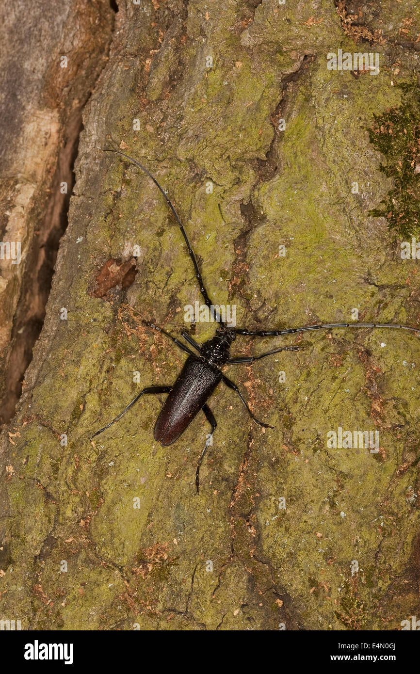 great capricorn beetle, oak cerambyx, male, Eichen-Heldbock, Eichenbock, Eichenheldbock, Heldbock, Männchen, - Stock Image
