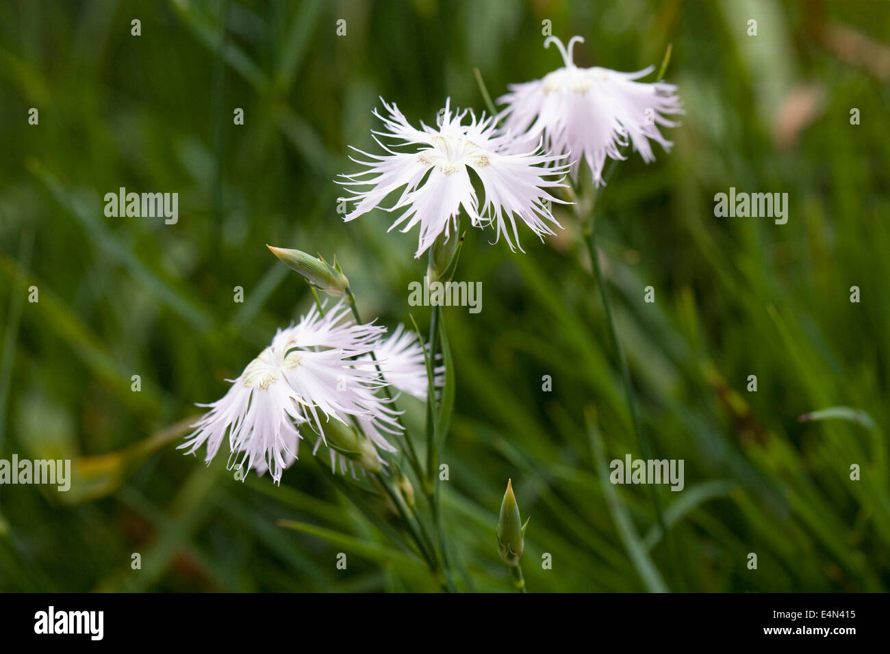 White Alpine Flower Dianthus Stock Photos White Alpine Flower