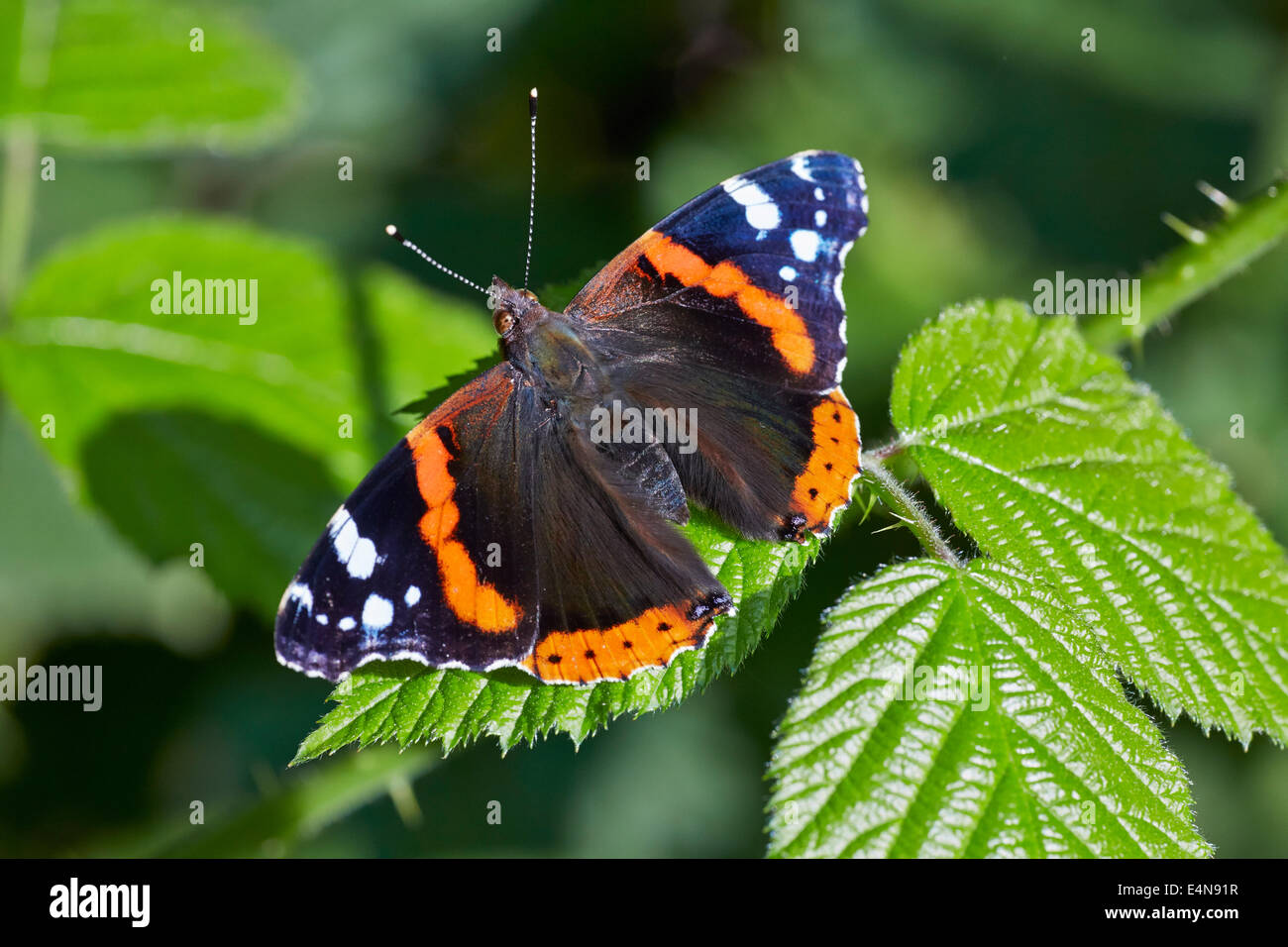 Red Admiral butterfly on bramble.  Bookham Common, Surrey, England. - Stock Image