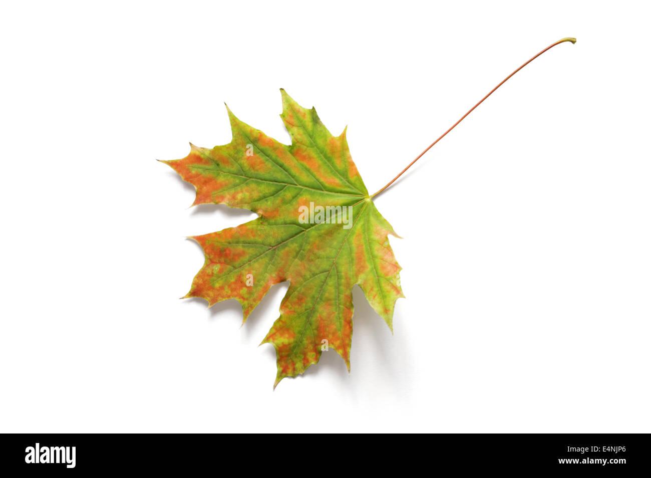 Autumn dry maple leaf - Stock Image