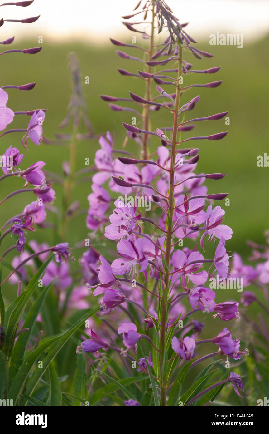 Rosebay willow herb - Stock Image