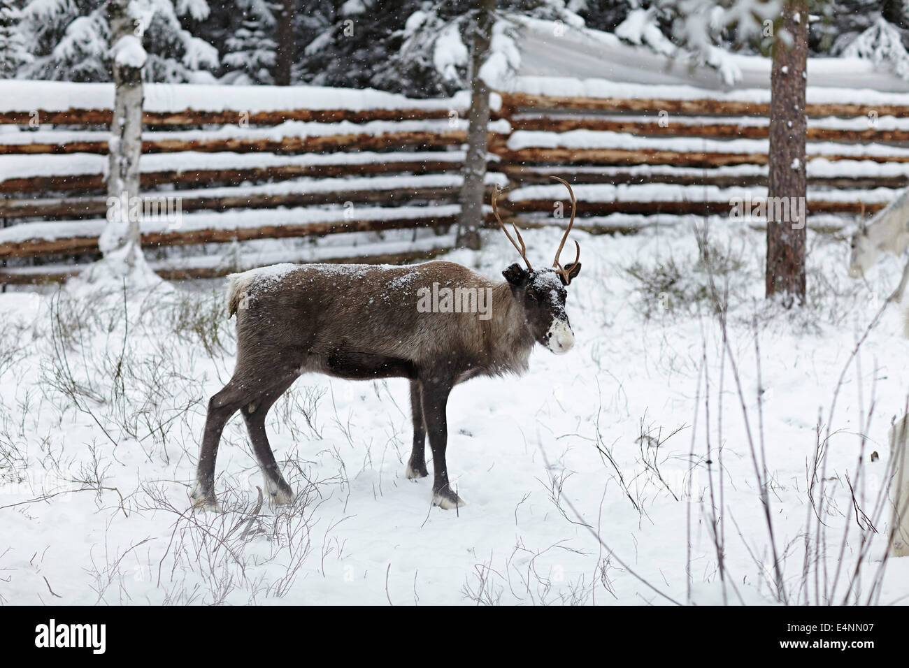 UMEA, northern Sweden. reindeer of the sami indigenous people. - Stock Image
