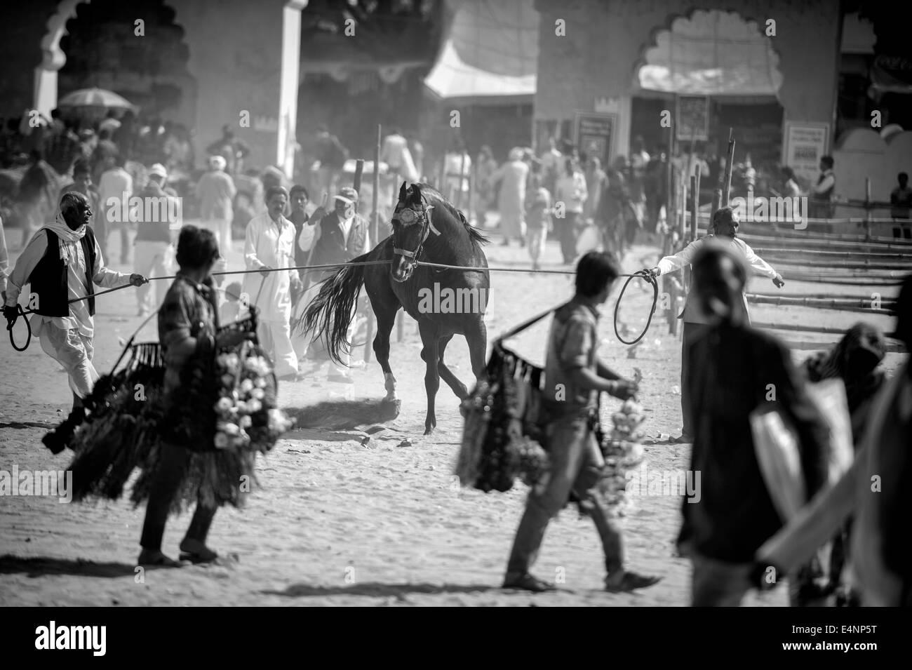Uncontrollable Horse at Pushkar Festival - Stock Image