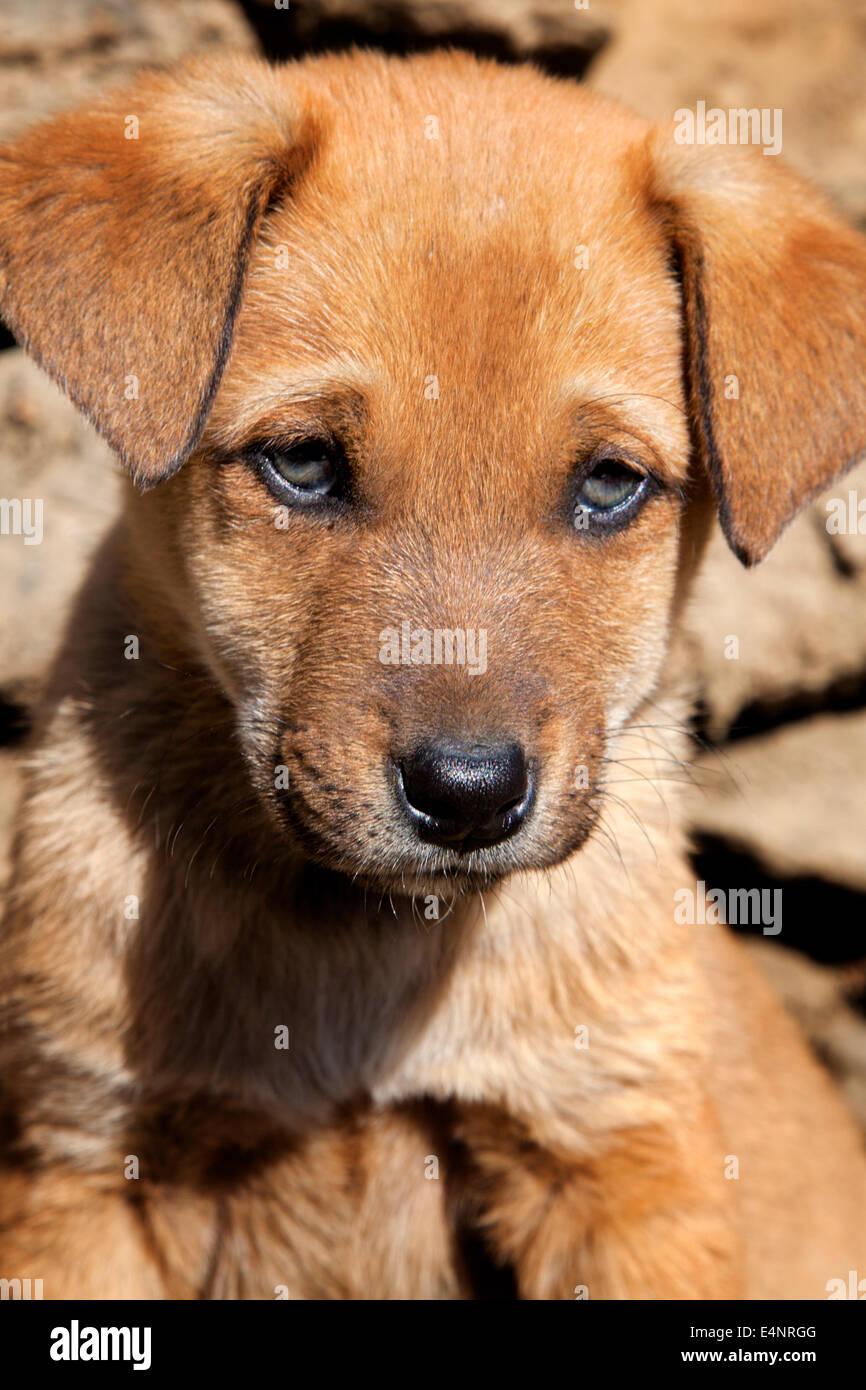 Puppy Dog at Ghorepani, Himalayas, Nepal - Stock Image