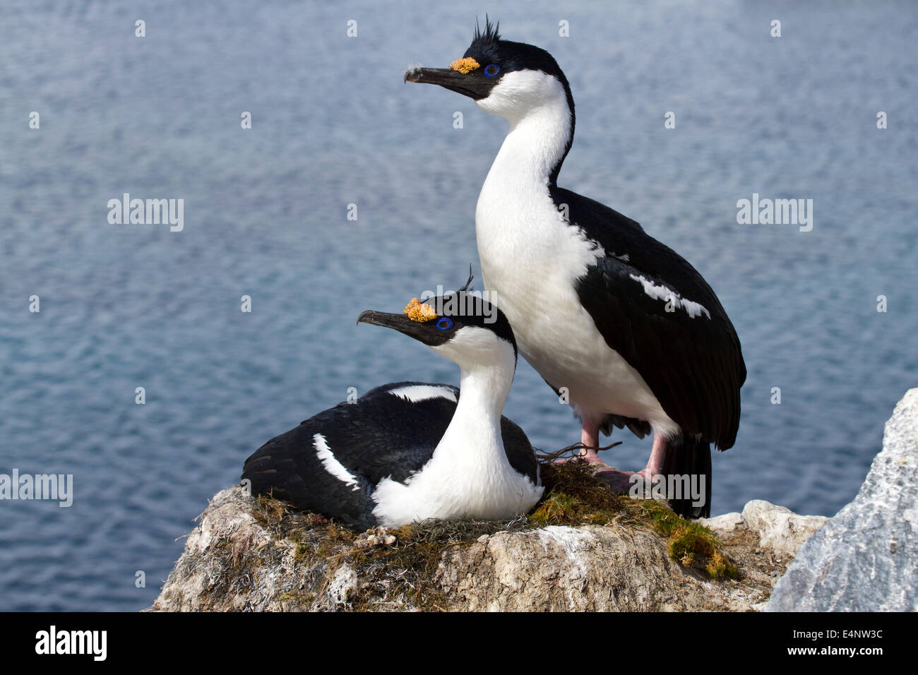Male and female blue-eyed Antarctic shag at the nest in the colony - Stock Image