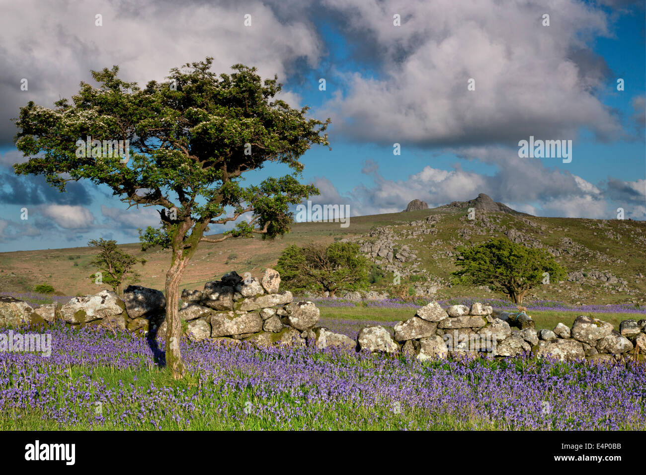 View to Haytor from Holwell lawns with bluebells in the foreground - Stock Image