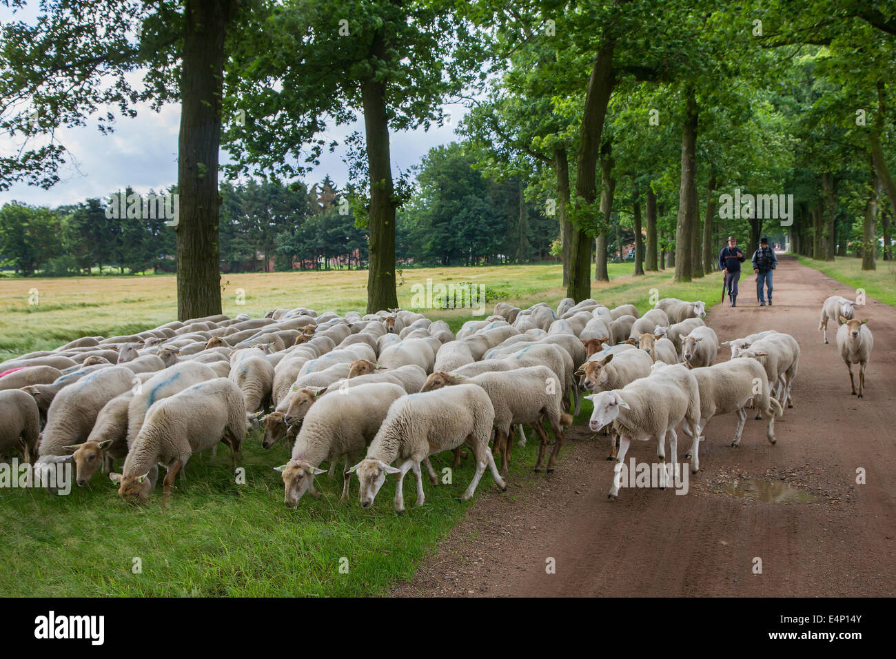 Two shepherds herding flock of white sheep along lane bordered with trees - Stock Image