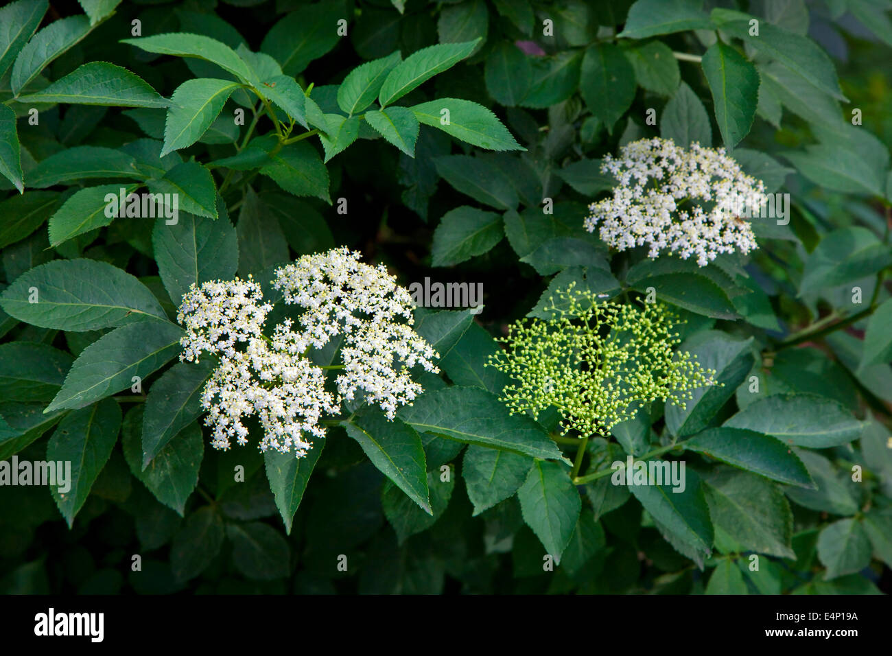 European elder / European elderberry (Sambucus nigra) in flower in spring - Stock Image