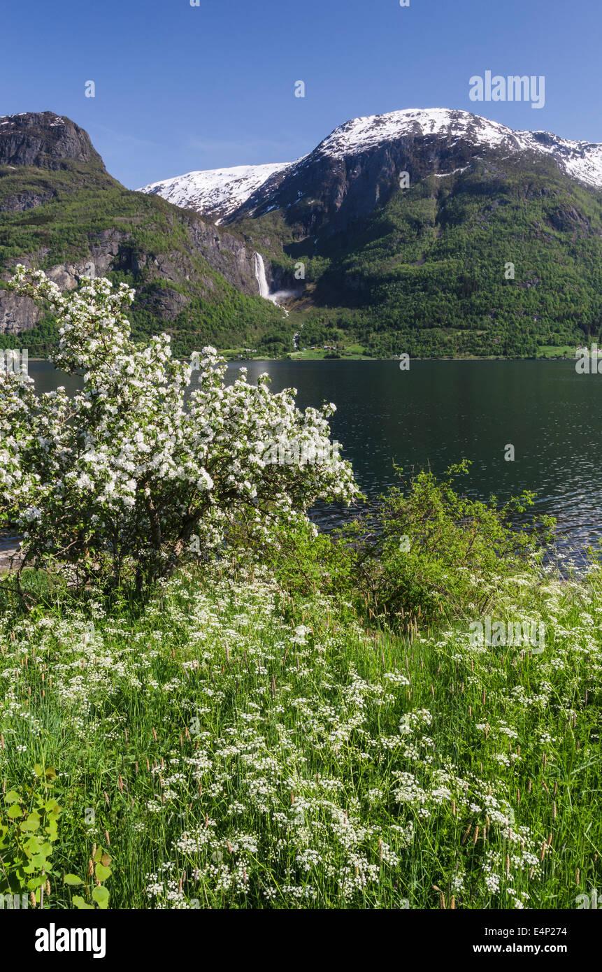 Apfelbluete, Lustrafjorden, Luster, Sogn og Fjordane Fylke, Norwegen - Stock Image