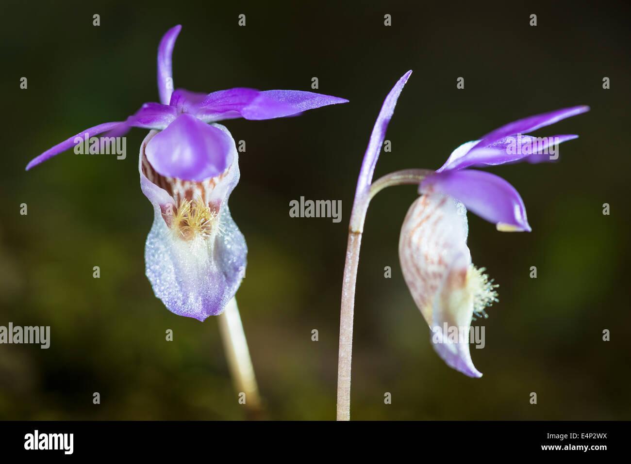 die Orchidee Norne, Calypso bullosa (englisch: Calypso orchid, Venus´s slipper, fairy slipper), Norrbotten, - Stock Image