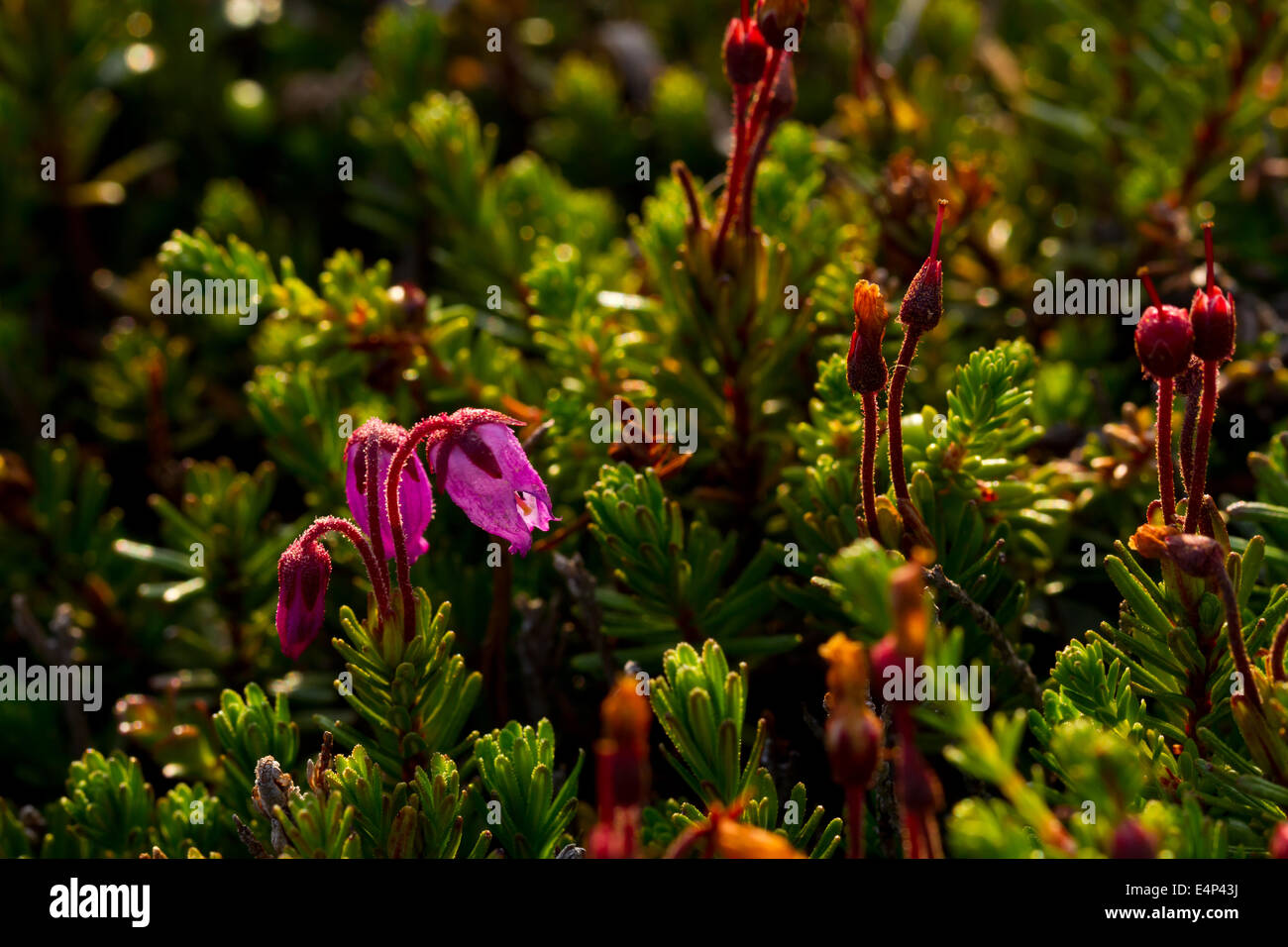 Crowberry (Empetrum nigrum) flowers growing in the Norwegian mountains. Stock Photo
