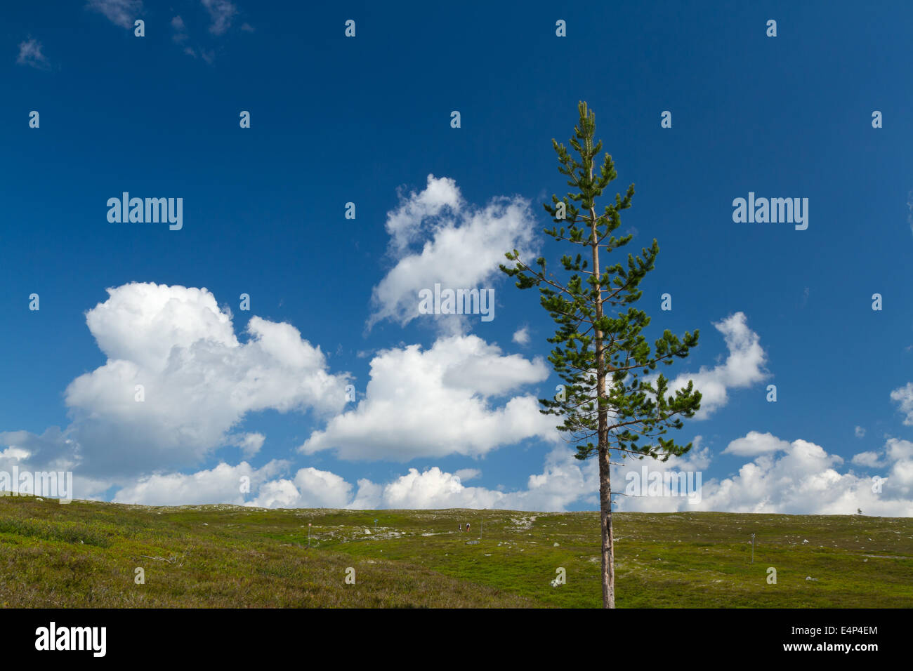 Lonely pine tree on a Swedish mountain Stock Photo