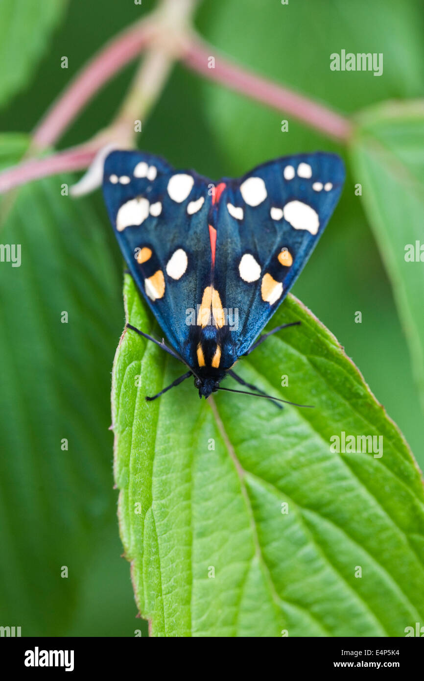 Callimorpha dominula moth on Hydrangea leaves. Scarlet Tiger moth. - Stock Image