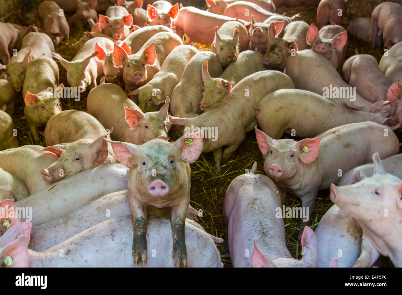 Young piglets in a stable, - Stock Image