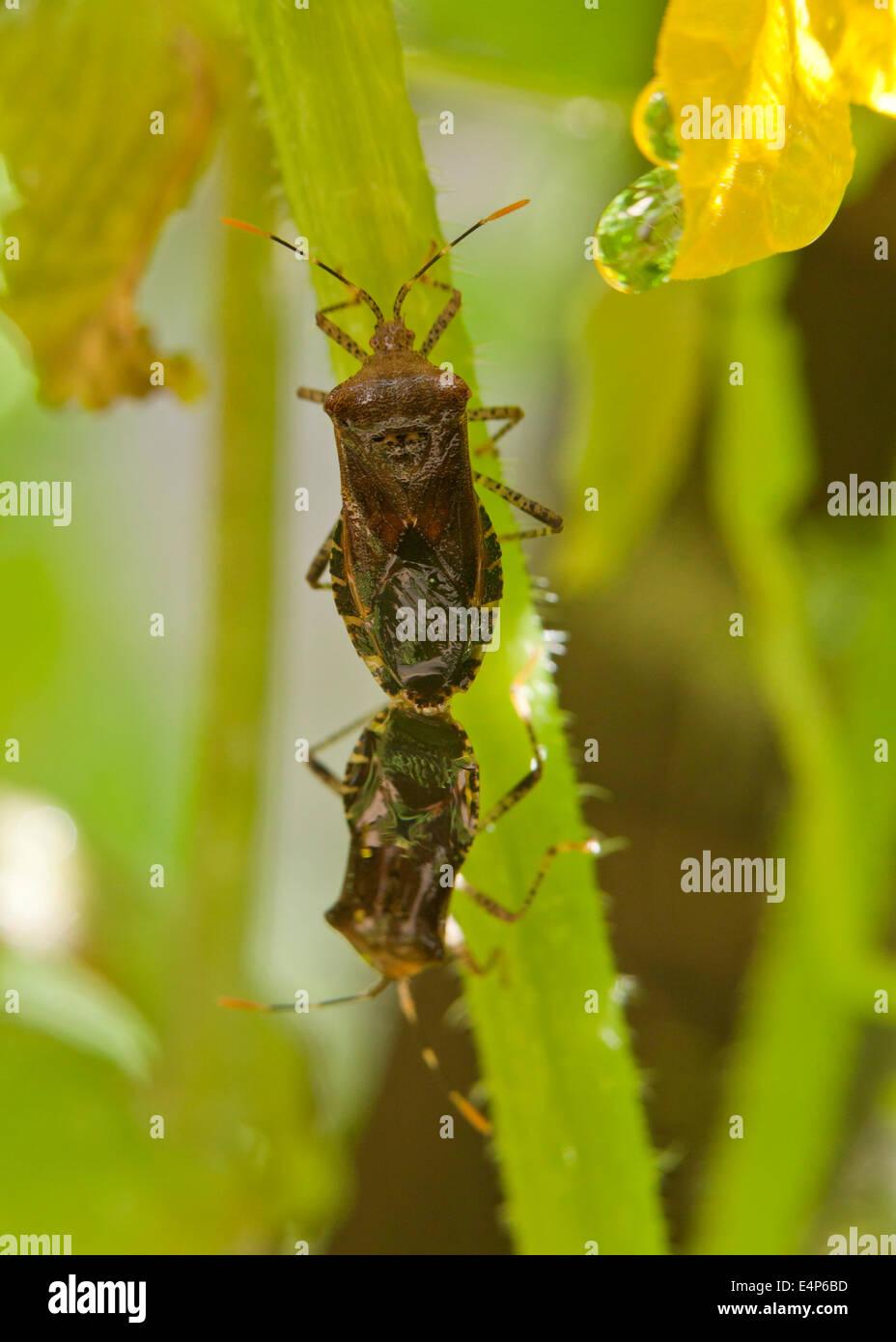 Squash bugs mating (Anasa tristis) - Virginia, USA - Stock Image