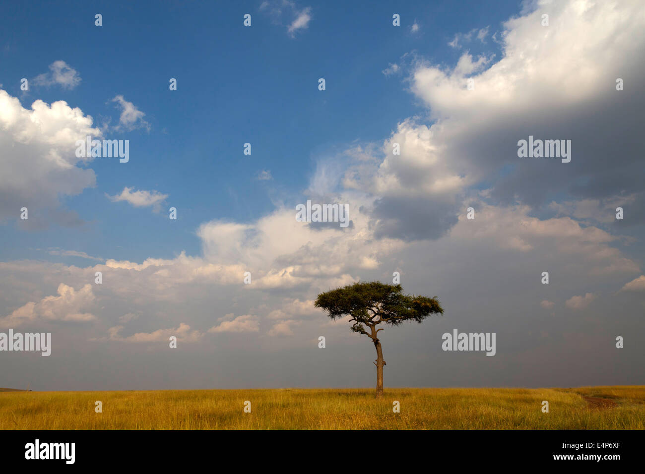 einzelner Baum in der Savanne mit Wolkenstimmung  Masai Mara, Kenia - Stock Image
