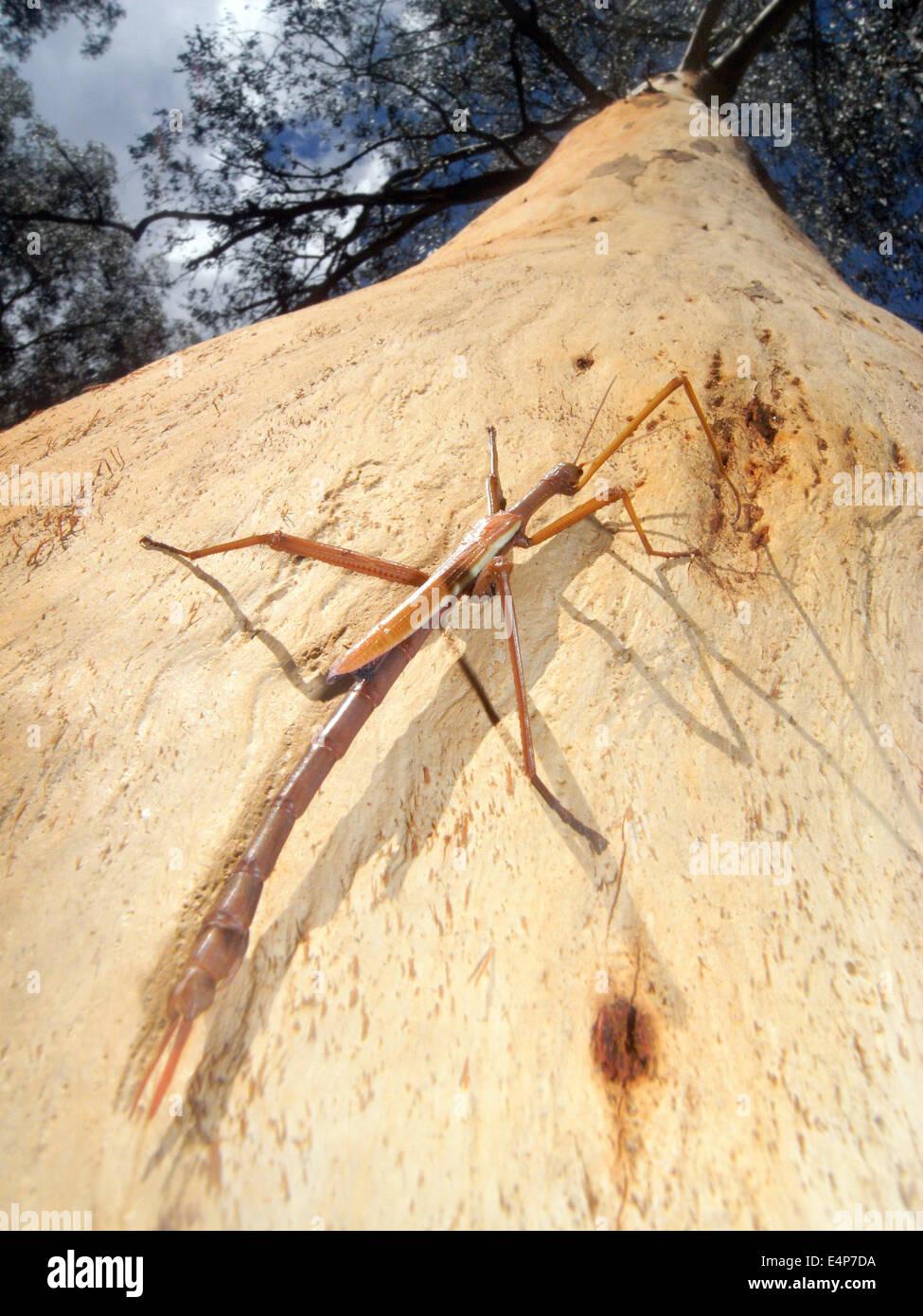 Large stick insect (Ctenomorphodes or Anchiale) on mountain ash tree, Australian Alps, Kosciuzsko National Park, - Stock Image
