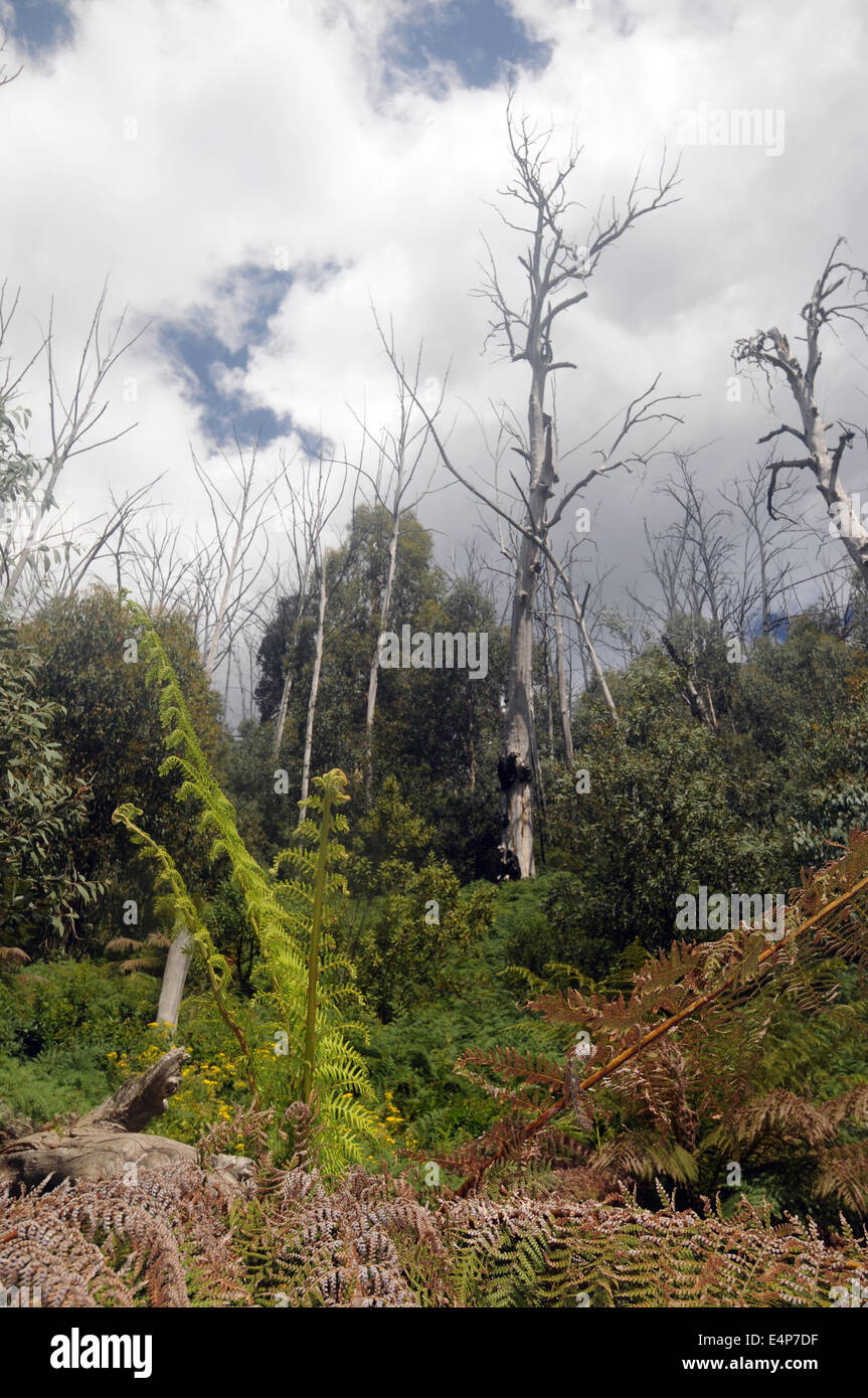 Mountain ash forest regenerating ten years after catastrophic bushfires killed most adult trees, Snowy Mountains, - Stock Image