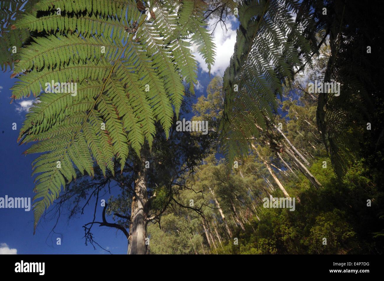 Looking up through treefern fronds at mountain ash forest, Snowy Mountains, Kosciuszko National Park, NSW, Australia - Stock Image