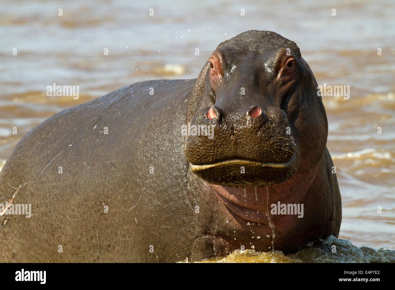 Flusspferd angriffslustig - Stock Image