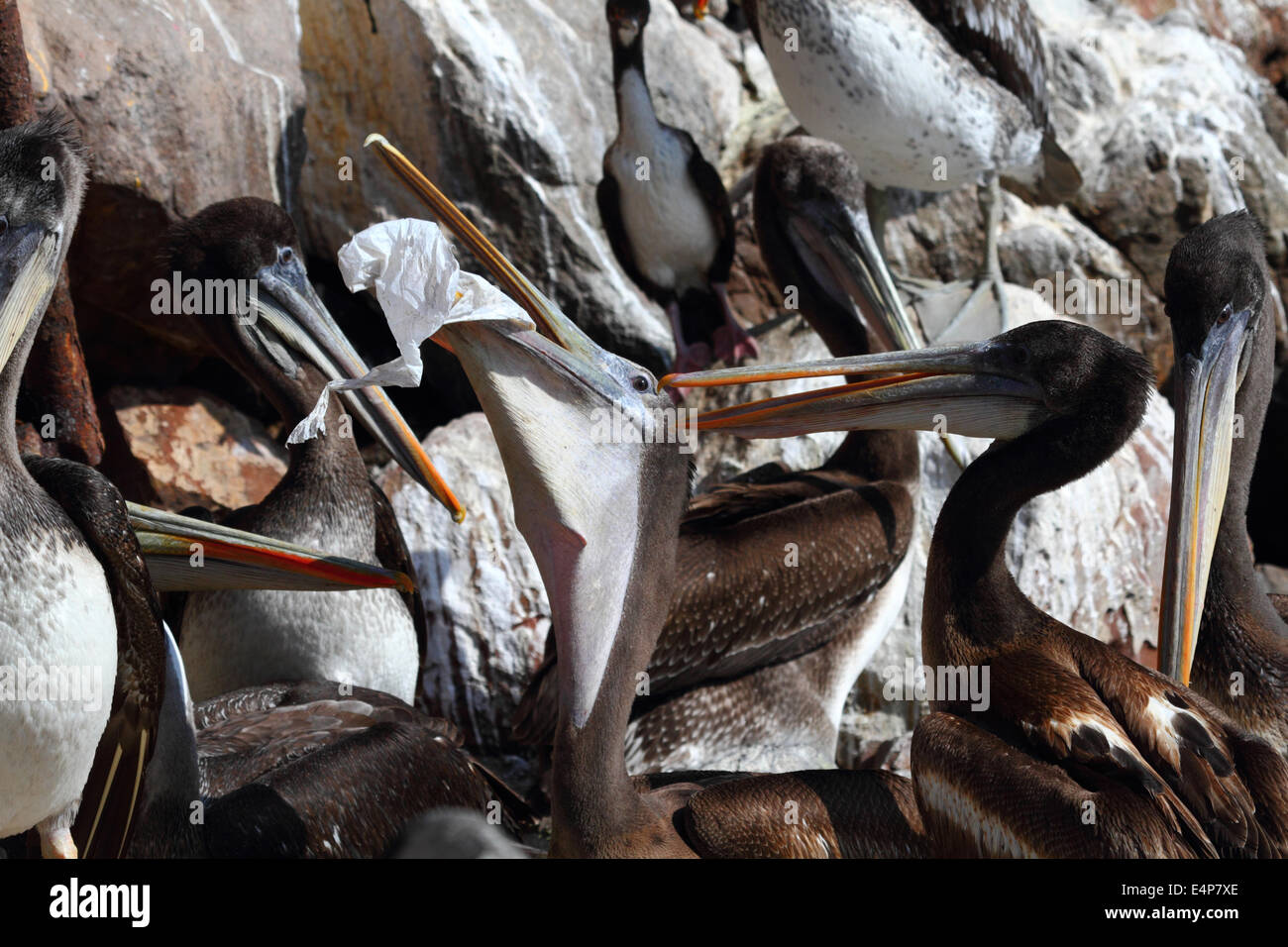Young Peruvian pelican (Pelecanus thagus) with a beak pouch full of plastic bag, Arica, Chile - Stock Image
