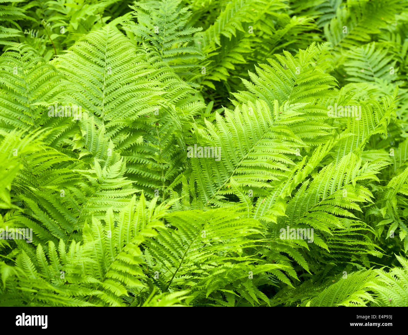 Overlapping Ferns. An exuberant growth of ferns on the forest floor. Fronds overlap and fill the frame. - Stock Image