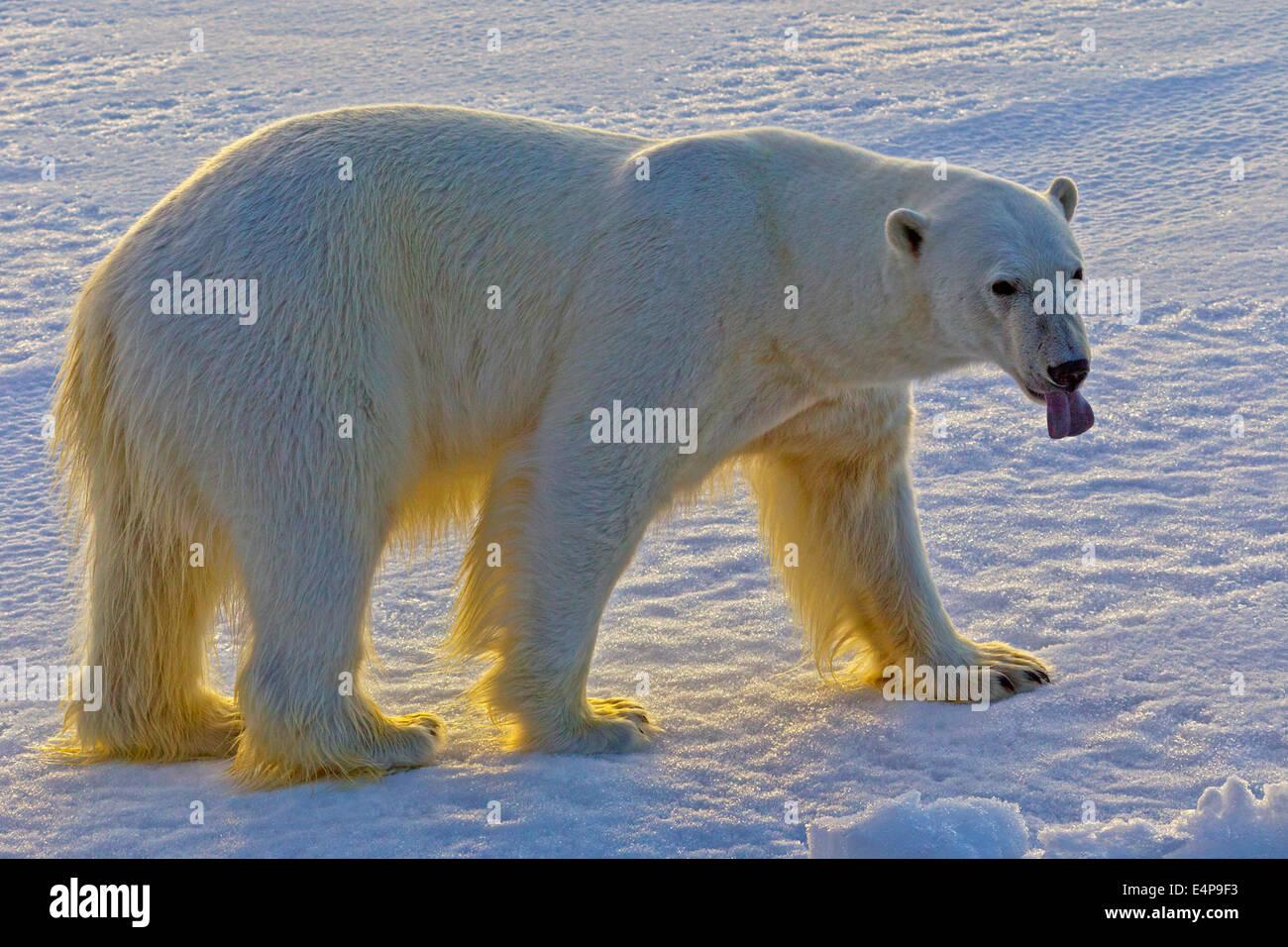 Eisbaer auf Spitzbergen - Stock Image