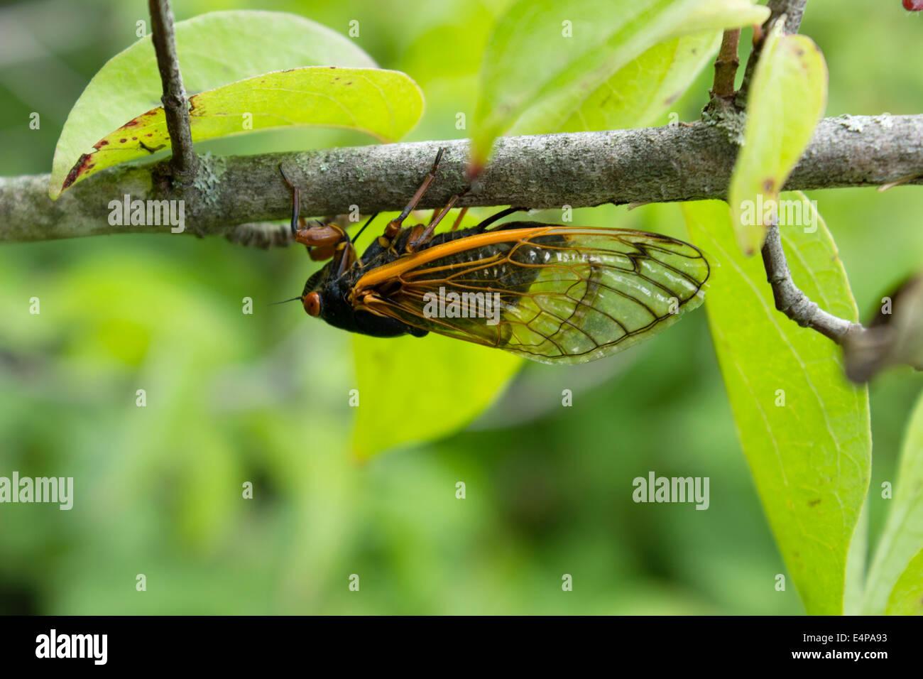 A Periodical Cicada in Central Iowa. - Stock Image