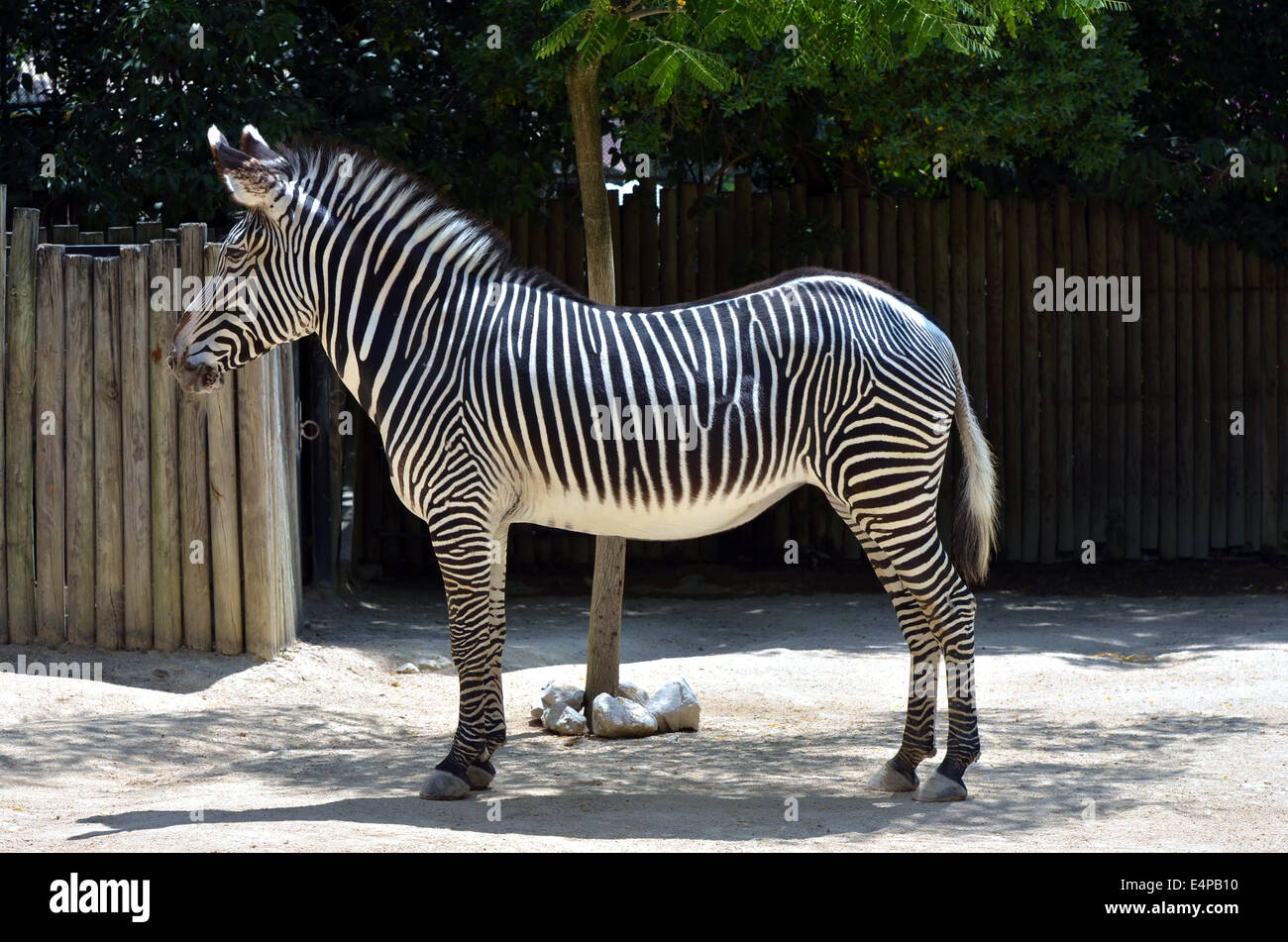Zebra full body - Stock Image