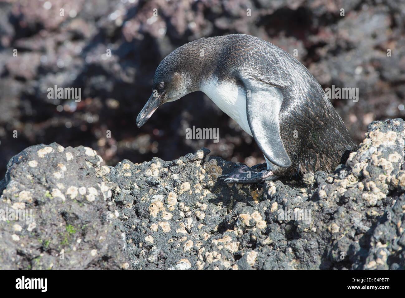Galapagos Penguin (Spheniscus mendiculus), Elisabeth Bay, Isabela Island, Galapagos, Ecuador - Stock Image