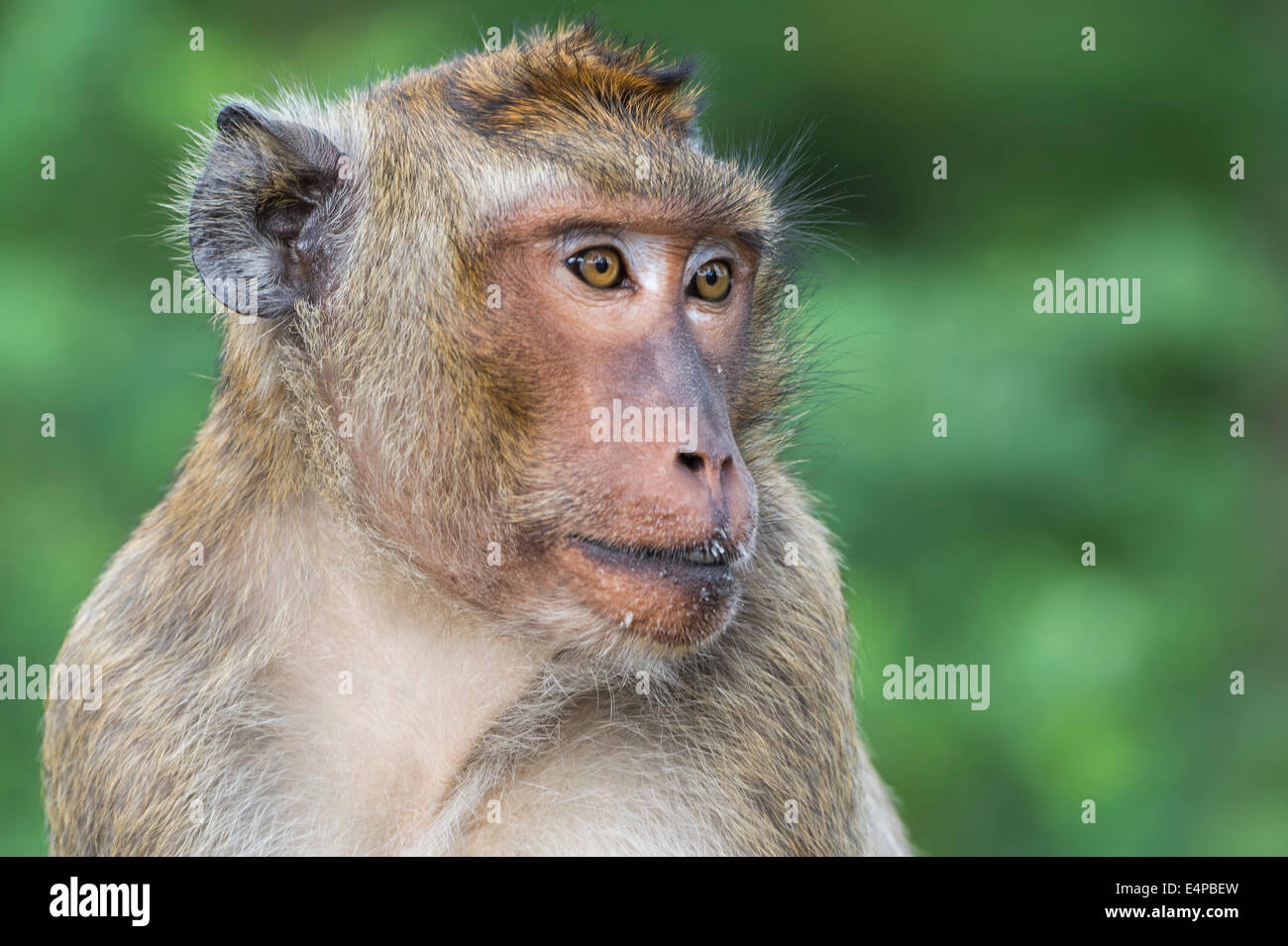 Long-tailed Macaque or Crab-eating Macaque (Macaca fascicularis), Thailand, Asia - Stock Image