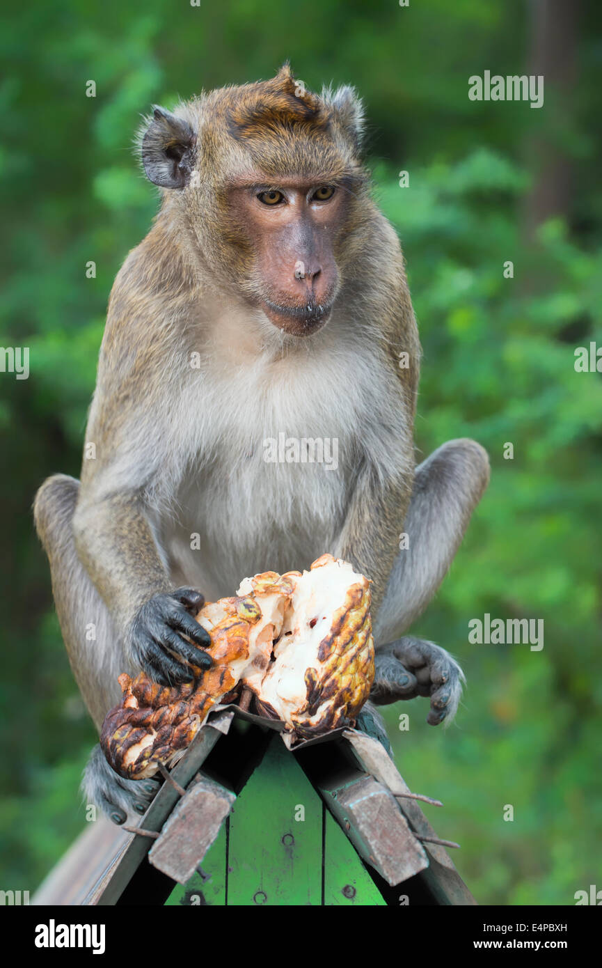 Long-tailed Macaque or Crab-eating Macaque (Macaca fascicularis) eating a fruit, Thailand, Asia - Stock Image