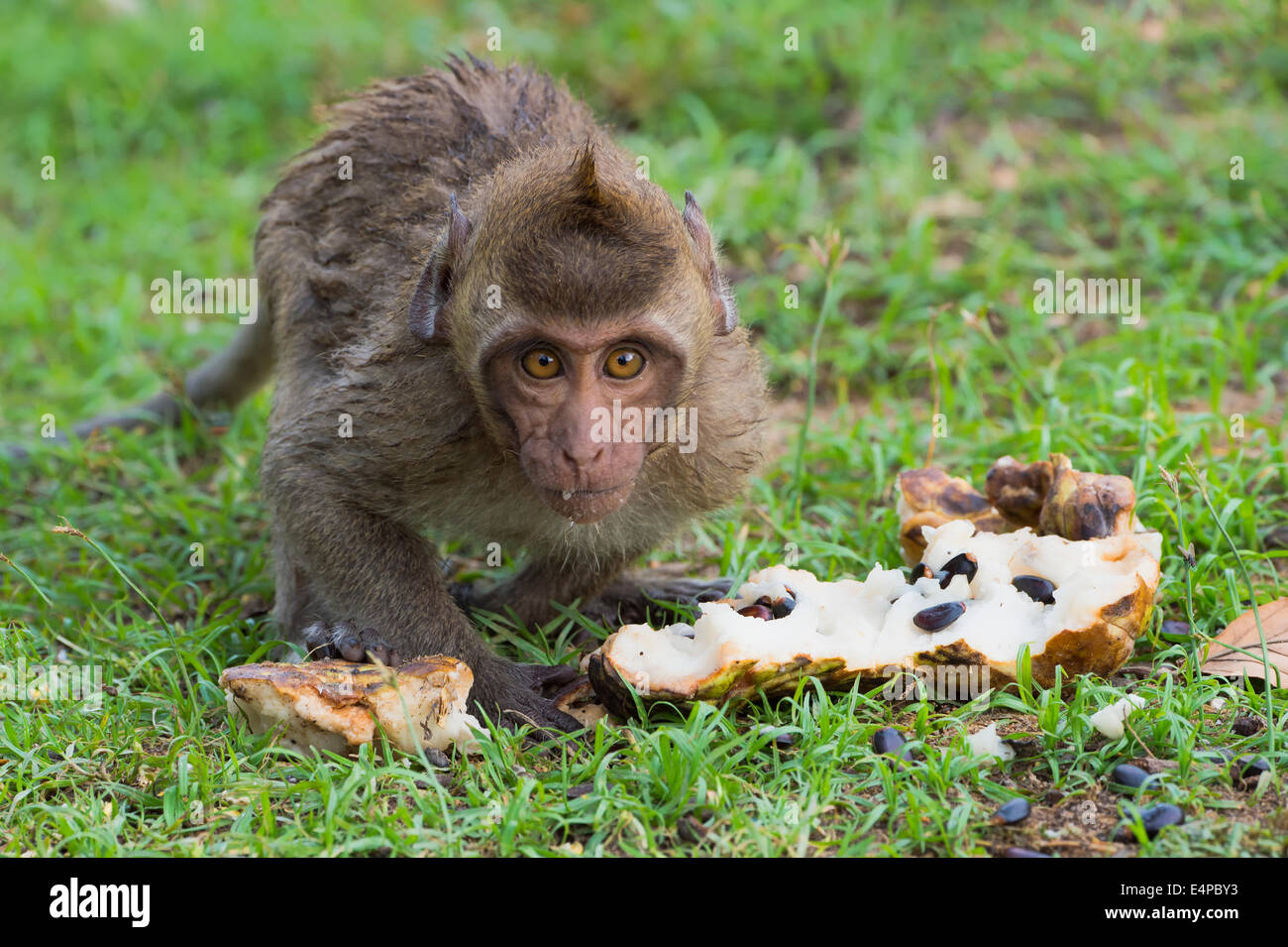 Baby Long-tailed Macaque or Crab-eating Macaque (Macaca fascicularis) eating a fruit, Thailand, Asia - Stock Image