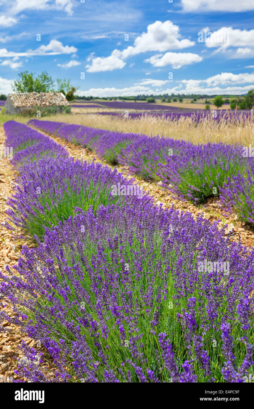 Lavender field in Provence with cloudy sky, France Stock Photo