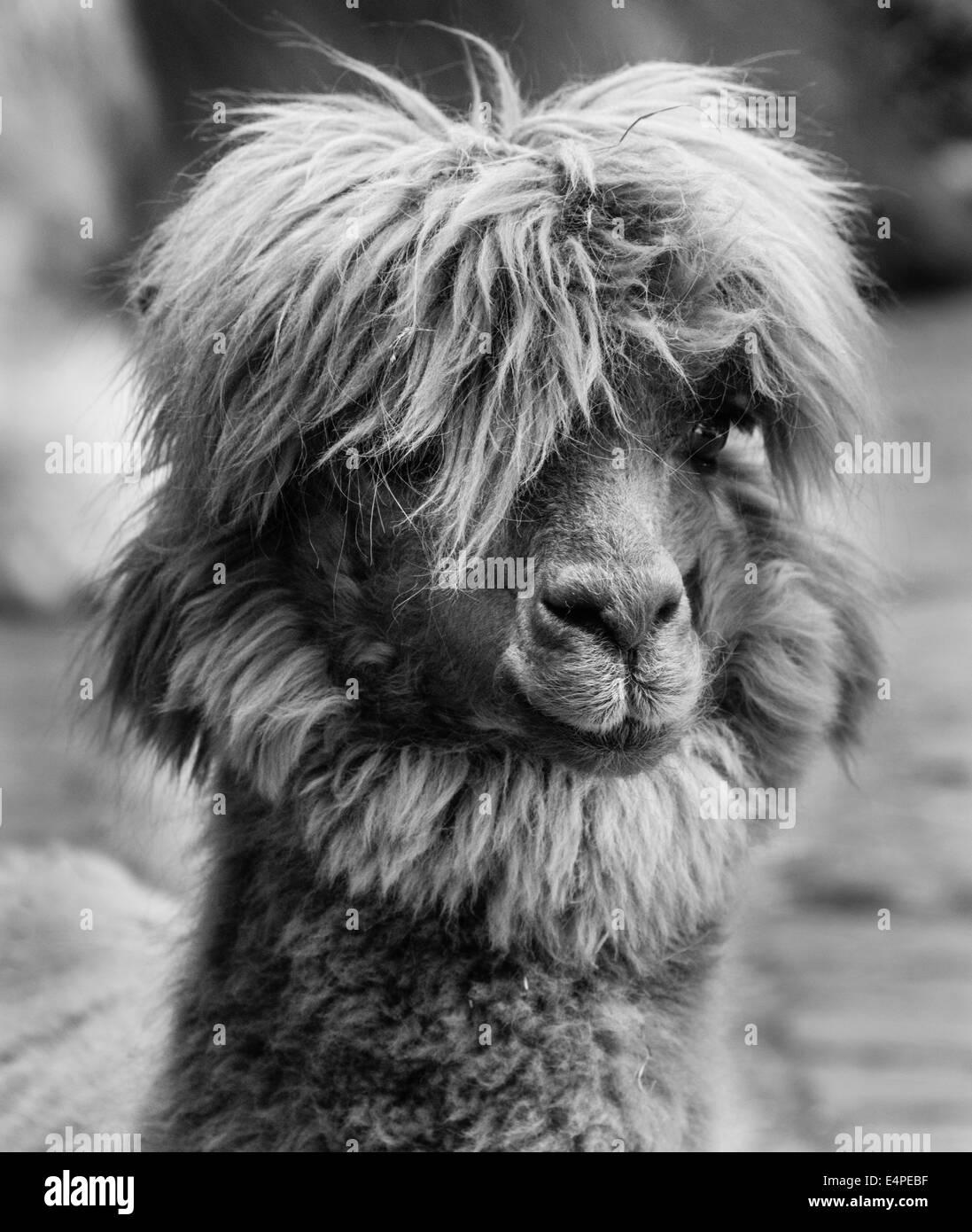 Llama lama glama animal portrait black and white