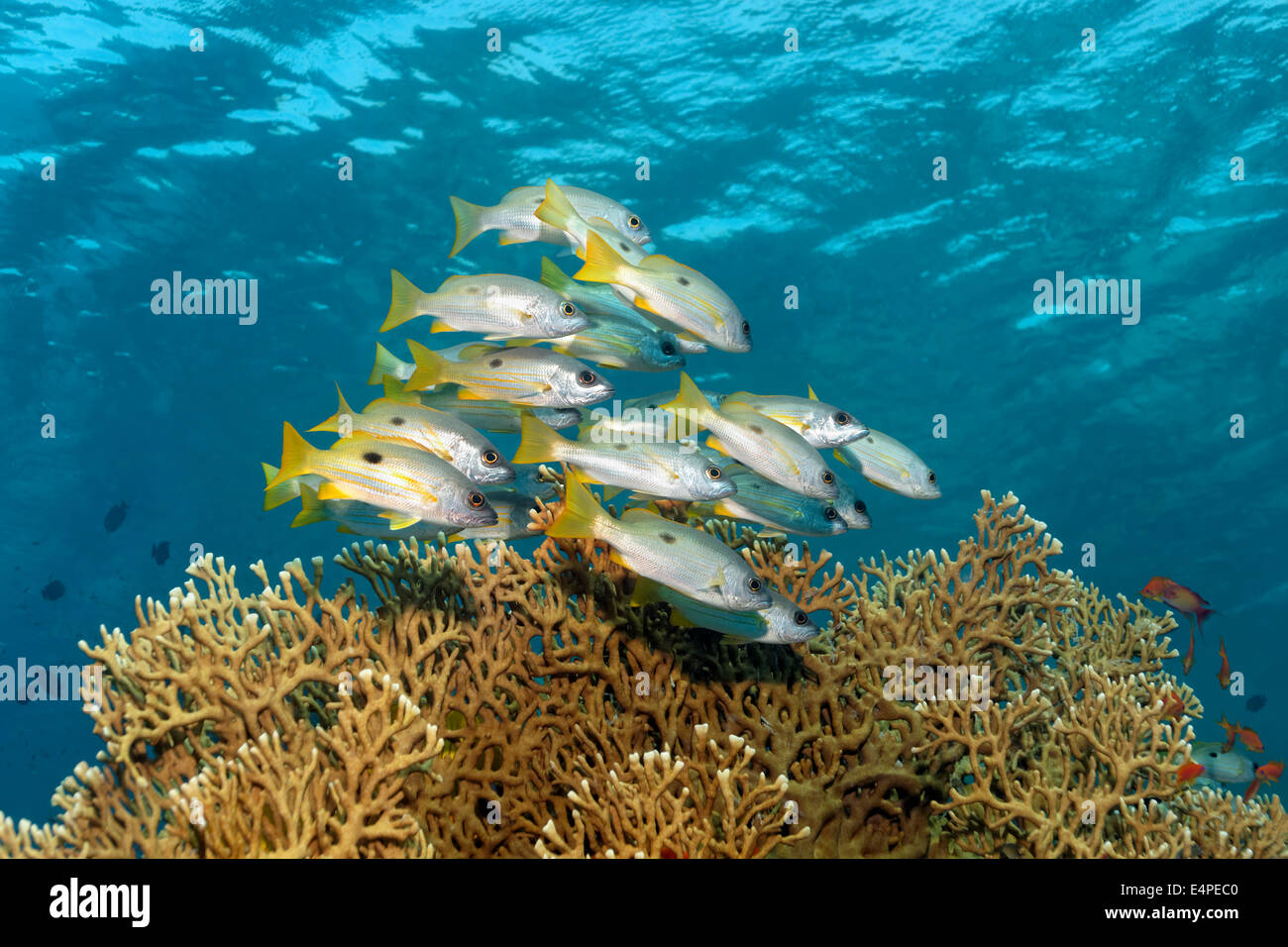 Dory snappers (Lutjanus fulviflamma) over Net Fire Coral (Millepora dichotoma), Red Sea, Egypt - Stock Image