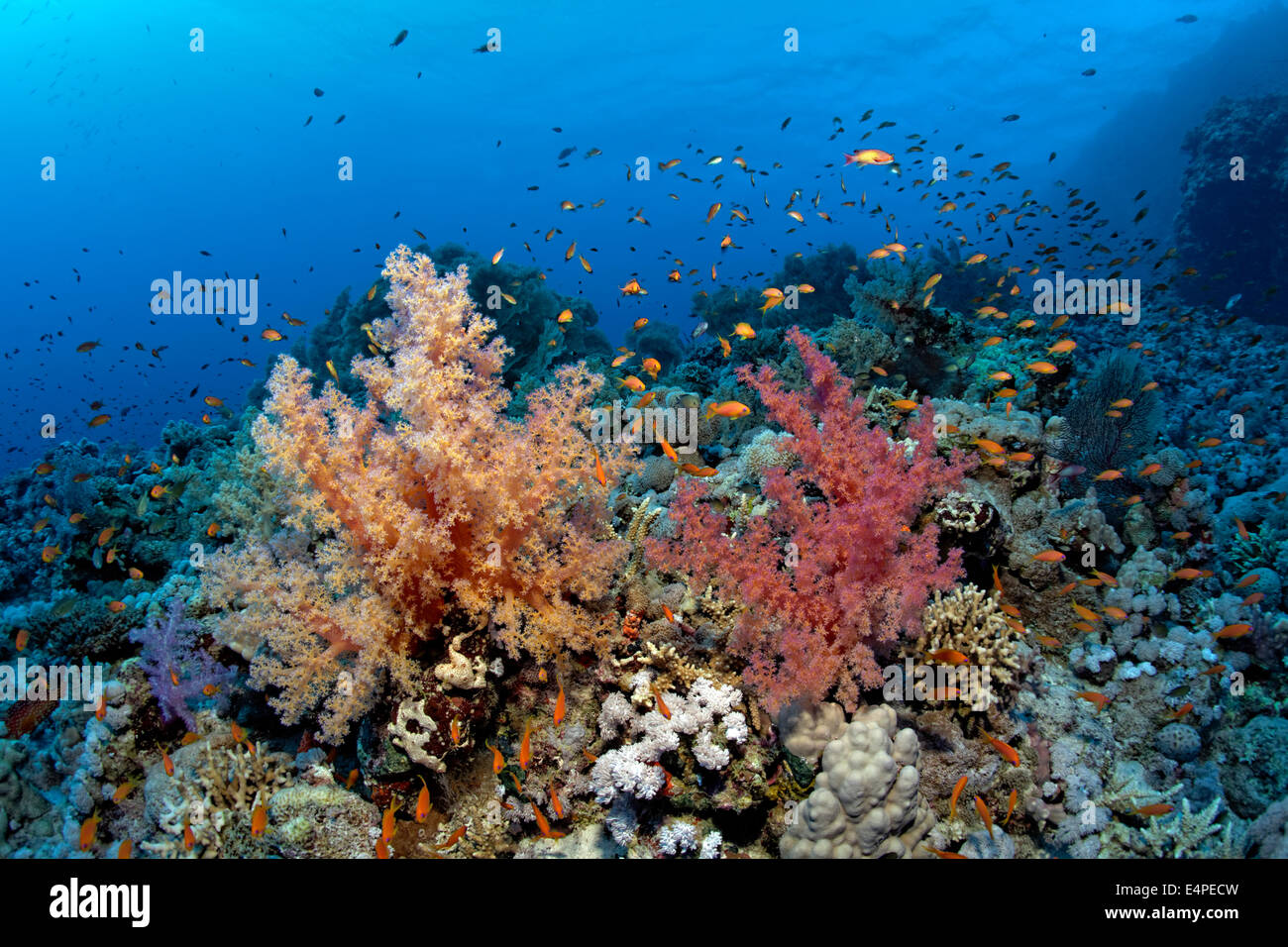 Klunzinger's Soft Corals (Dendronephthya klunzingeri) and a swarm of Anthias (Anthiinae) on the corals of the - Stock Image