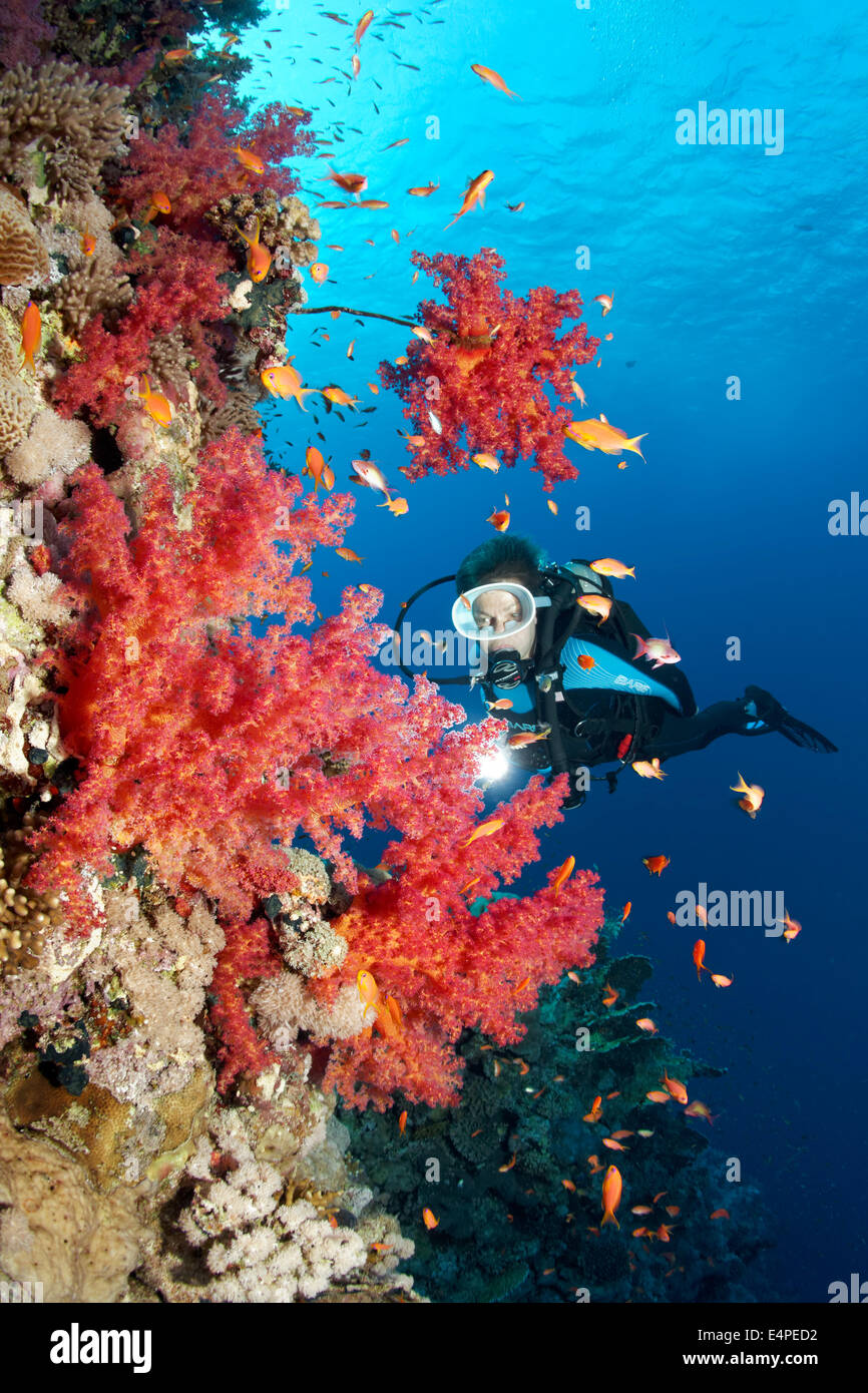 Scuba diver at the steep wall of a coral reef looking at Klunzinger's Soft Corals (Dendronephthya klunzingeri) - Stock Image