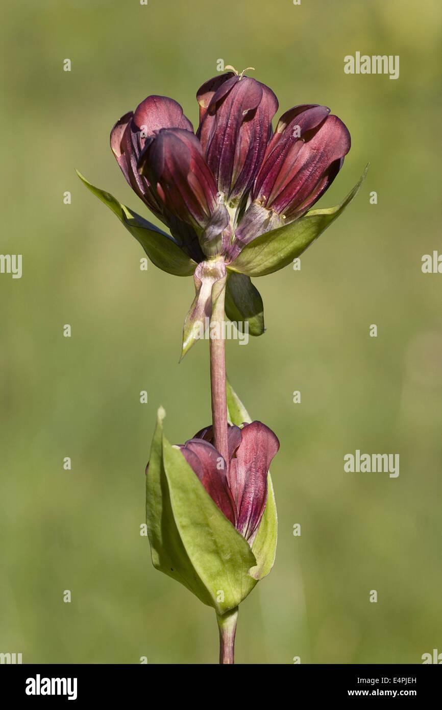 purple gentian, gentiana purpurea - Stock Image