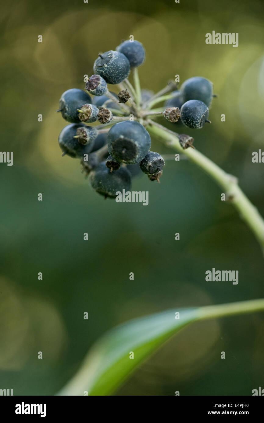 common ivy, hedera helix Stock Photo