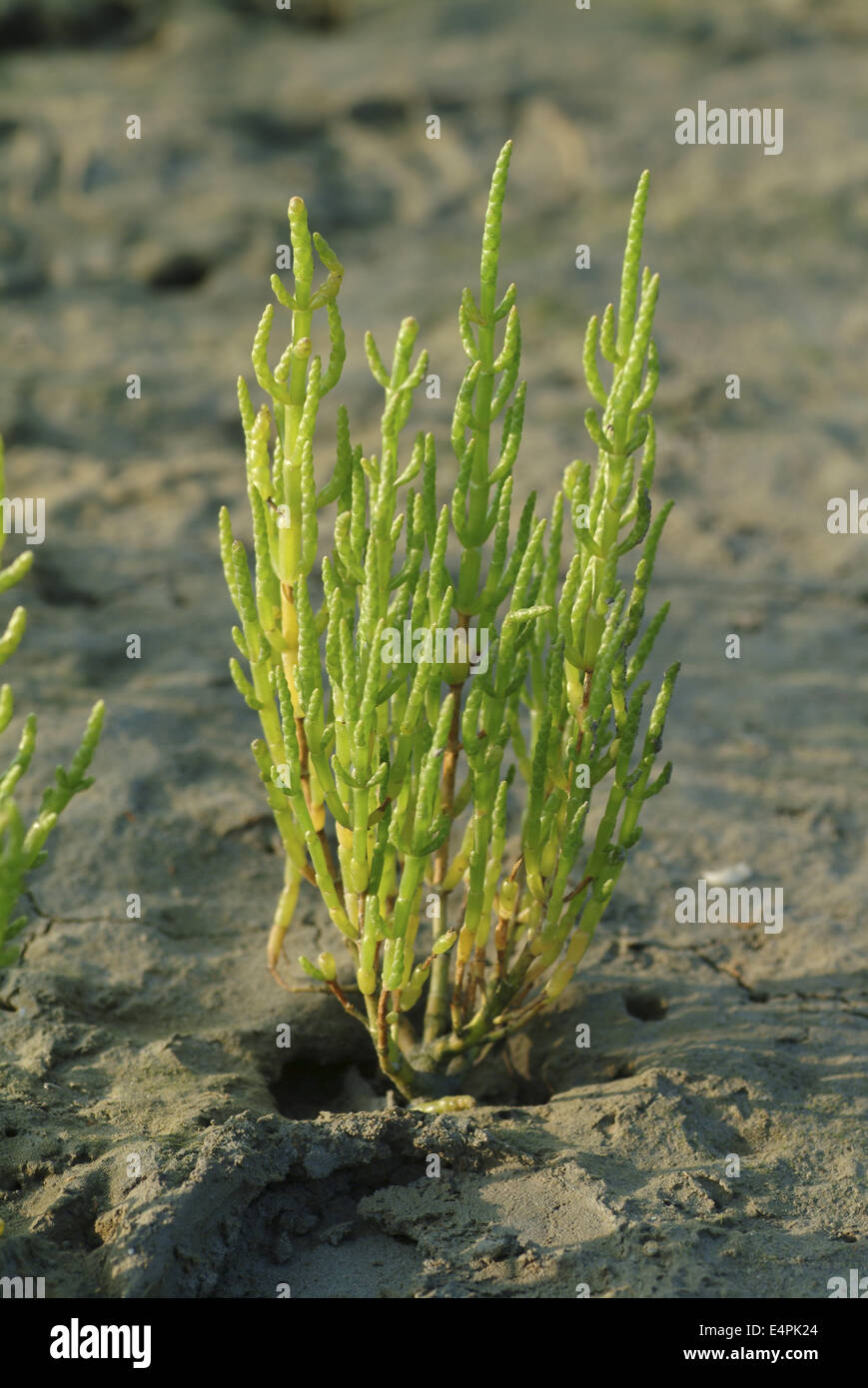 glasswort, salicornia europaea Stock Photo: 71797996